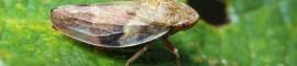 Cicada on a leaf.